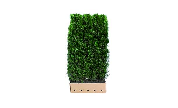 Quickhedge Conifeer 'Smaragd' - 200 cm • Gras en Groen Winkel