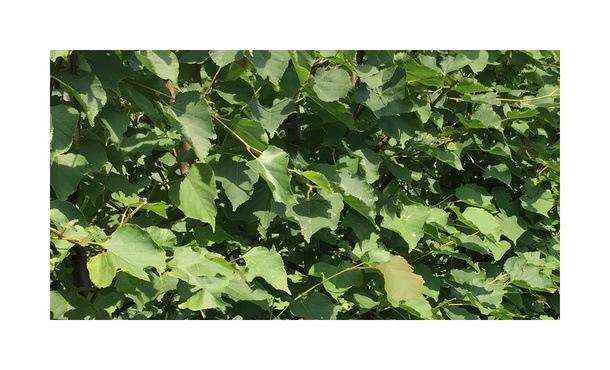 Quickhedge Tilia cordata 1 • Gras en Groen Hagen