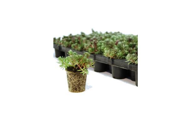 Sedumpluggen P5 72 st. • Gras en Groen Winkel
