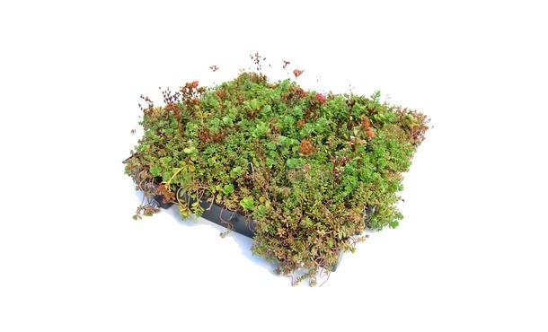 Sedumtray click and go • Gras en Groen Winkel