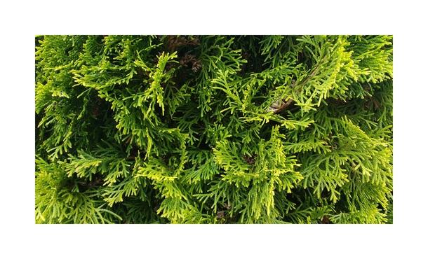 Conifeer Smaragd - Thuja occ. Smaragd • Gras en Groen Hagen