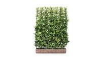 Kant en klaar haag Trachelospermum jasminoides 1  • Gras en Groen Hagen
