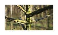 Quickhedge Acer Campestre • Gras en Groen Hagen