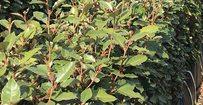Olijfwilg - Elaeagnus ebbingei • Gras en Groen Hagen