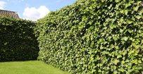 Klimop - Hedera Hibernica • Gras en Groen Hagen