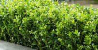 Japanse hulst - Ilex crenata 'Caroline Upright' • Gras en Groen Hagen