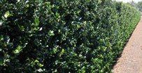 Hulst Blue Prince - Ilex meserveae Blue Prince • Gras en Groen Hagen