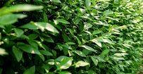 Haagliguster - Ligustrum ovalifolium • Gras en Groen Hagen