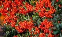 Kant-en-klaar Pyracantha Dart's Red 3 • Gras en Groen Hagen
