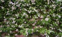 Kant en klaar haag Trachelospermum jasminoides 3 • Gras en Groen Hagen
