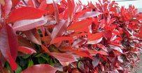 Glansmispel - Photinia fraseri 'Red Robin' • Gras en Groen Hagen