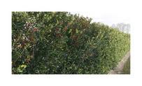 Quickhedge llex meserveae 'Blue Maid' • Gras en Groen Hagen