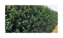 Quickhedge llex meserveae 'Heckenpracht' 2 • Gras en Groen Hagen