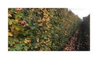 Quickhedge Liquidambar styraciflua 2 • Gras en Groen Hagen