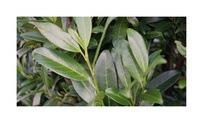 Quickhedge Prunus laurocerasus 'Herbergii' 1 • Gras en Groen Hagen