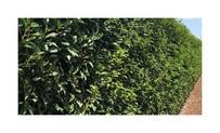 Quickhedge Prunus lusitanica 'Angustifolia' 2 • Gras en Groen Hagen