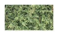 Quickhedge Thuja occidentalis 'Brabant' 1 • Gras en Groen Hagen