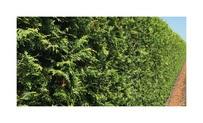 Quickhedge Thuja occidentalis 'Brabant' 2 • Gras en Groen Hagen