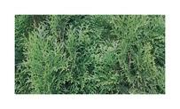 Quickhedge Thuja occidentalis 'Smaragd' 1 • Gras en Groen Hagen