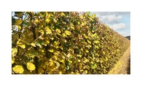 Quickhedge Tilia cordata 3 • Gras en Groen Hagen