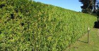 Conifeer Brabant - Thuja occ. Brabant • Gras en Groen Hagen